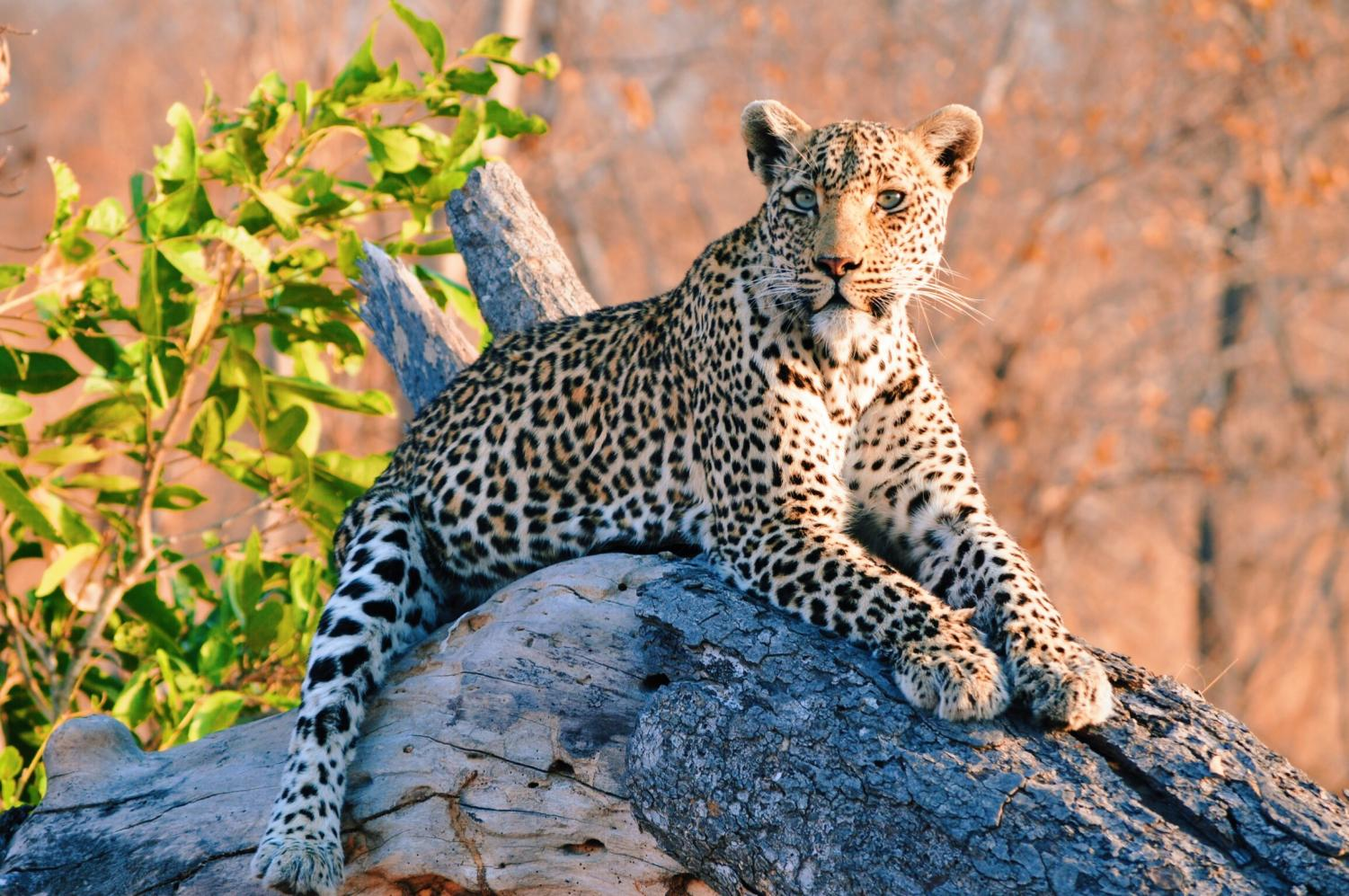 A+female+leopard+rests+on+a+fallen+tree+trunk+in+Kruger+National+Park%2C+South+Africa.+Online+Managing+Editor+Ally+Navarrete+visited+South+Africa+for+3+weeks+during+which+she+saw+all+of+the+Big+Five+animals+%28leopard%2C+lion%2C+Cape+buffalo%2C+elephant%2C+rhinoceros%29+among+other+sights+in+the+amazing+country.+