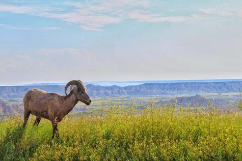 A bighorn sheep pictured in Badlands National Park in South Dakota. Photo Director Annabel Redisch caught a glimpse of animals like the bighorn sheep, American bison, and prairie dogs during her trip through North and South Dakota.