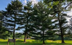 Four pine trees at Ferwood park. A storm knocked down the tree second from the left two days after I climbed it.