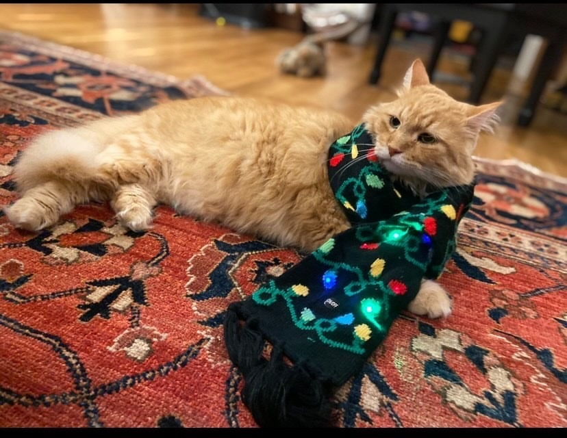 Junior Caroline Cook's Tabby cat, Diego, poses for a photo in a Christmas-themed scarf.