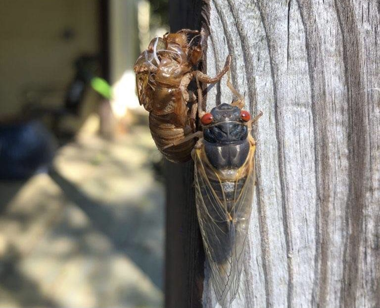 Community assesses slow emergence, quick life and death of Brood X cicadas