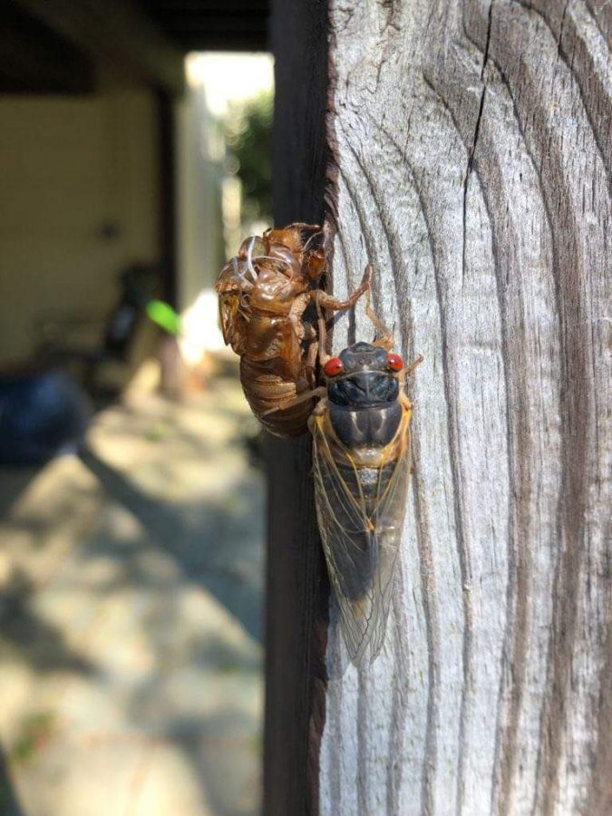 The Brood X cicada population only lives for a few short — but memorable — weeks above the ground.